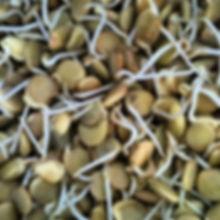 נבטוטי עדשים