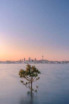 That Auckland Tree by Wei Lian Tan