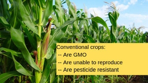 conventional crops dangers in a field of corn