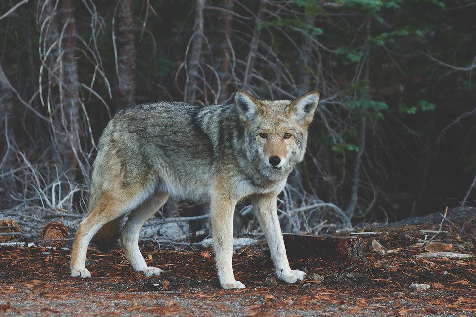 Wolf im Herbst