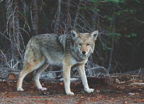 """""""Parable""""  two wolves that battle inside us..."""