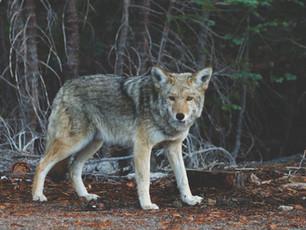 Wolves in Ceredigion