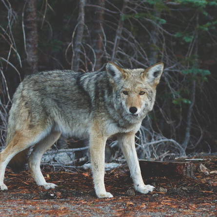 The Ecomuseum welcomes a new resident to their wolf pack