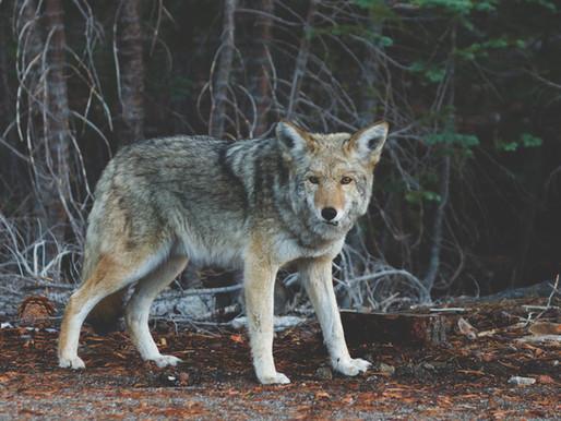 El lobo y el perro