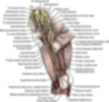 brachial plexus.jpg