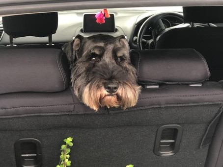 Pet of the week: Hector the Schnauzer