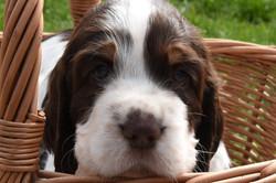 puppy1-12