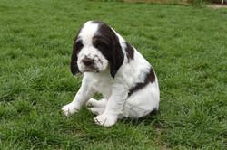 puppy3-33