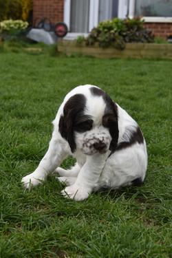 puppy3-34