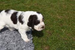 puppy3-08