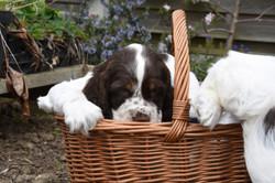 puppy1-43