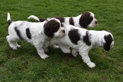 puppy1-31