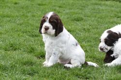 puppy1-33