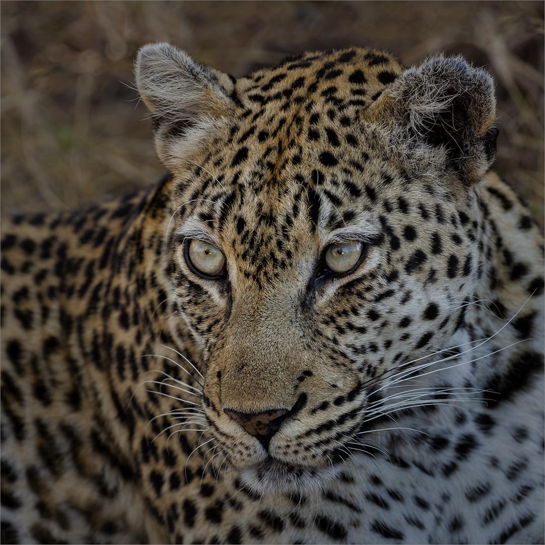 Leopard Portrait - Russell James