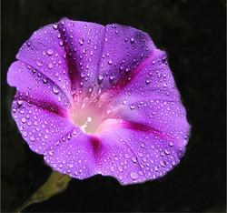 Dew drops-Henry Sabatino