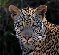 Leopard Stare-Rodney Cory