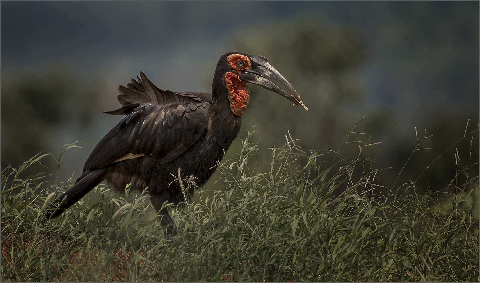 Southern Ground Hornbill-Russell James