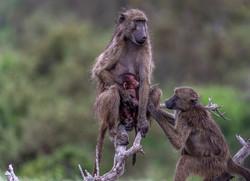 Baboon family-Deon Van Aarde