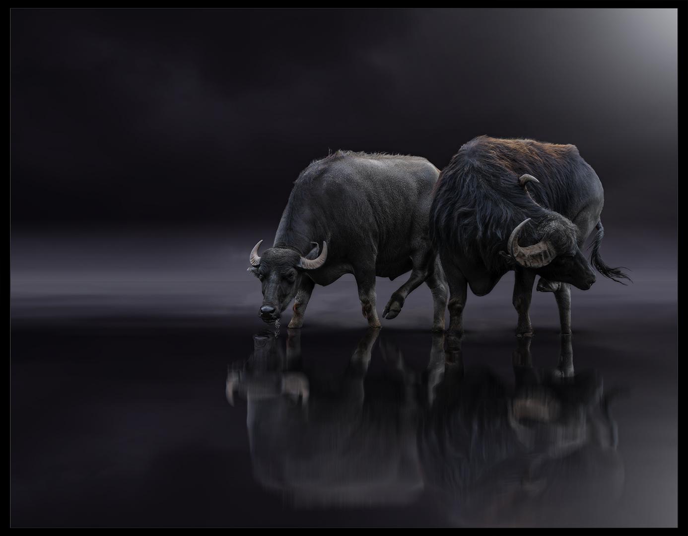 Buffalo Reflection-Martin Barber
