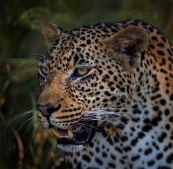 Leopard Portrait - 10 Russell James