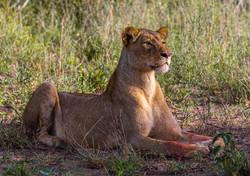 Alert lioness-Deon Van Aarde