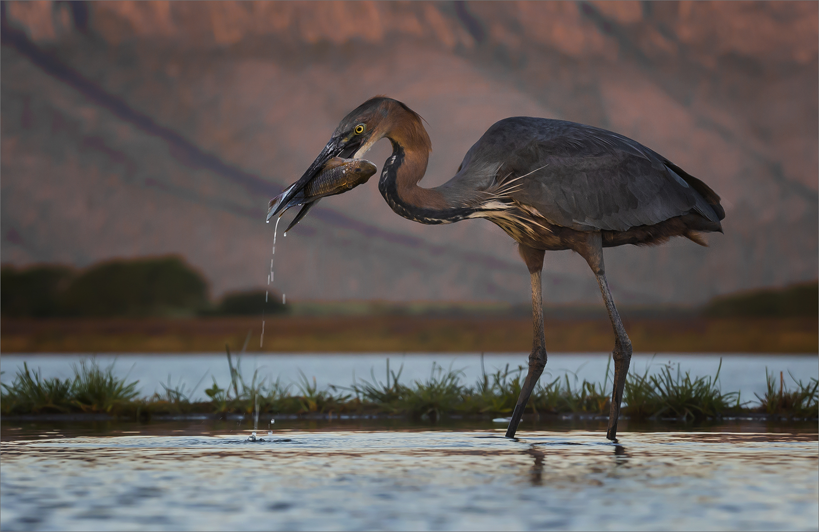 O-002-1639614-Goliath Heron with catch -