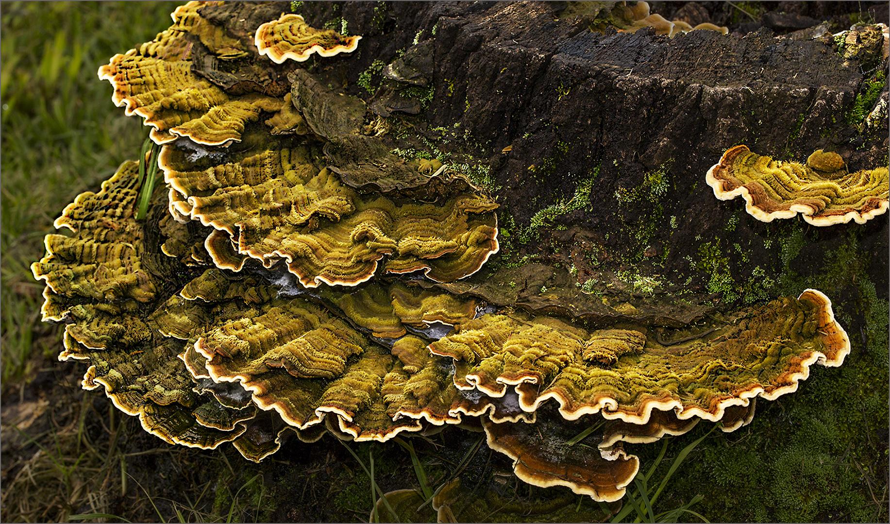 Dolour Fungis -Val Valentin