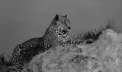 Leopard Alert-Rodney Cory