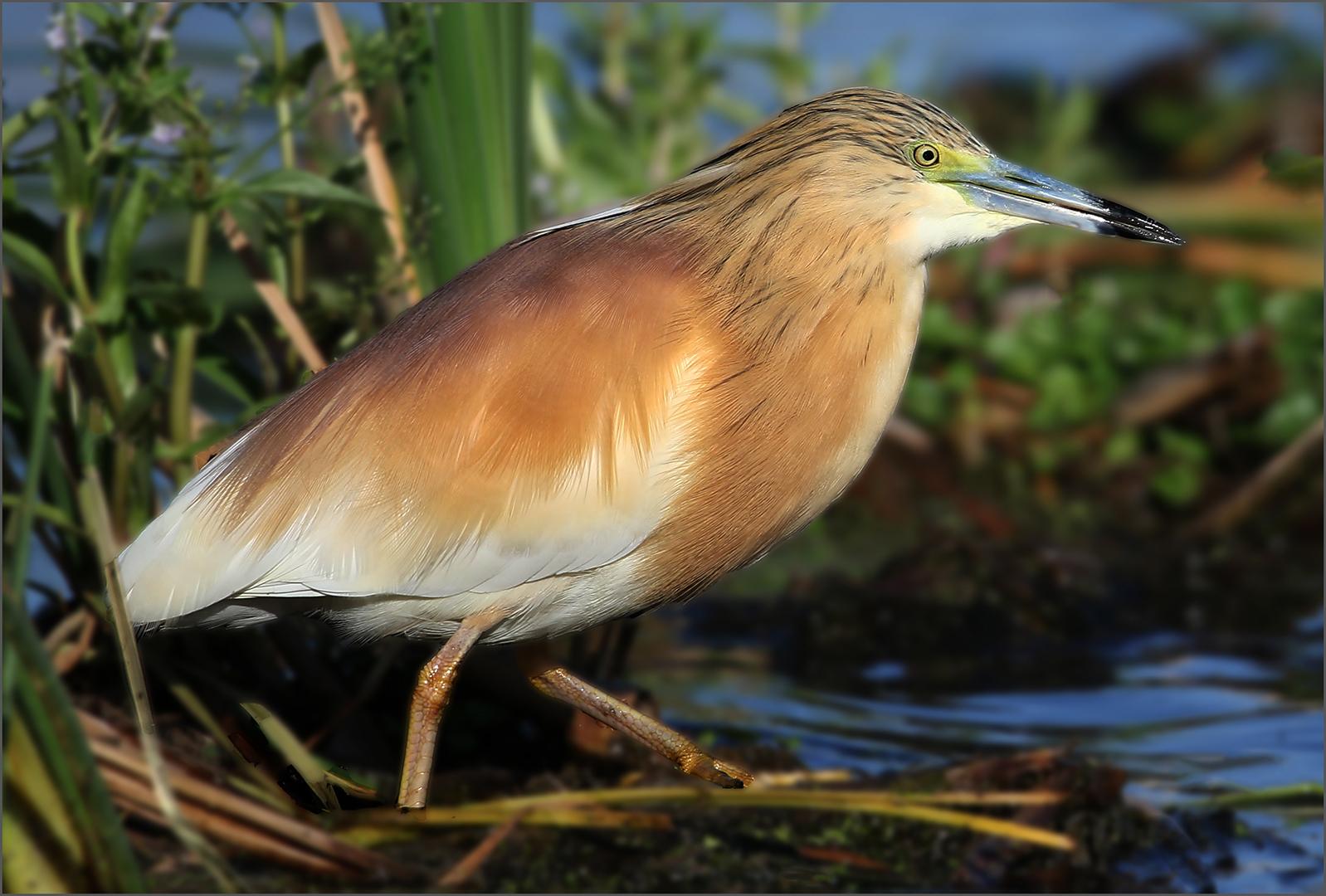 Squacco Heron-Cliffy Els
