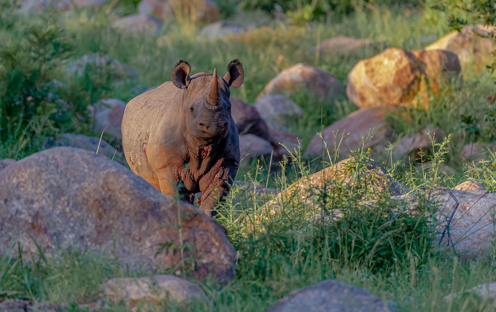 Black Rhino-Deon Van Aarde
