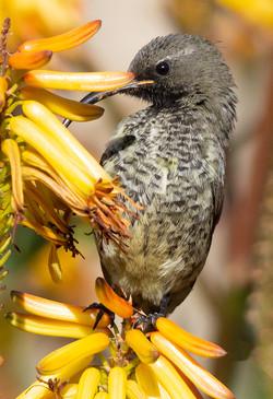 Sunbird 21-Anneke Preto