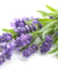Lavender flowers bundle on a white backg