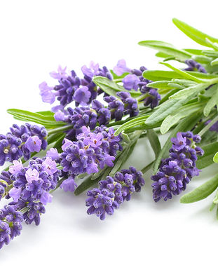 Lavender flowers bundle on a white backg