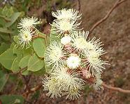 Rough-leaved Bloodwood Corymbia setosa