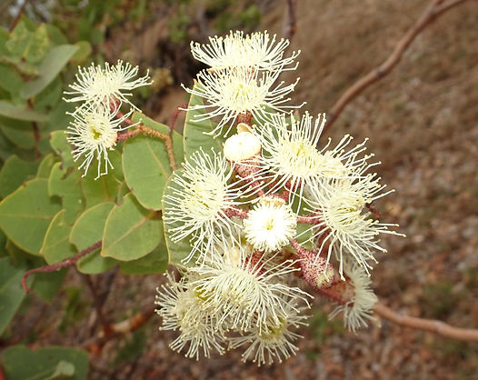 Rough-leaved Bloodwood Corymbia setosa