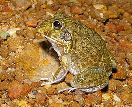 Eastern Snapping Frog (Cyclorana novaehollandiae). Photo by Michael Anthony