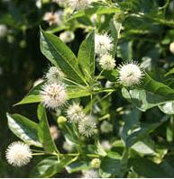 Fragrant shrub Sugar Shack Button Bush