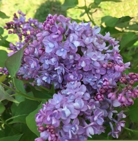 Fragrant Shrub Lilac