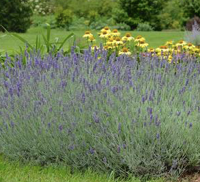 Fragrant English Lavender great for pollinators. Photo courtesy of Prides Corner Farm