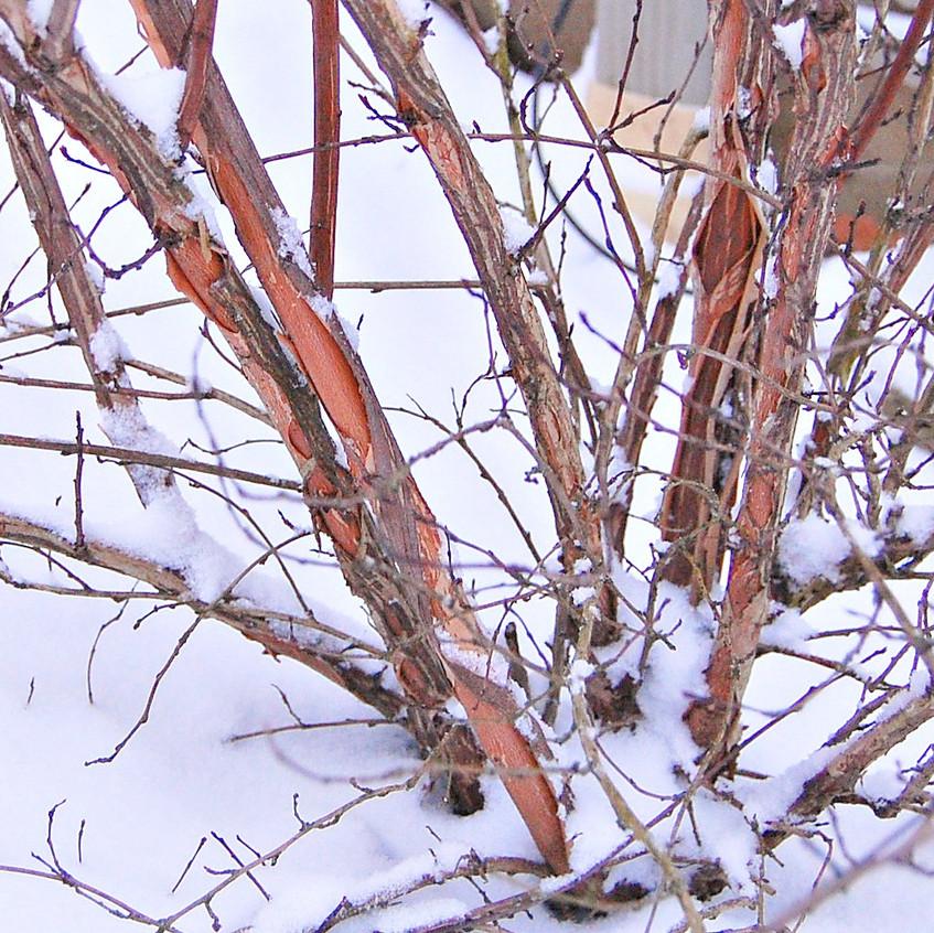 Ninebark In Winter