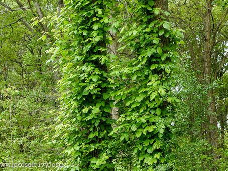 Identifying Poison Ivy