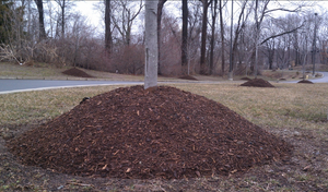 """""""Volcano Mulch"""" is detrimental to a tree"""