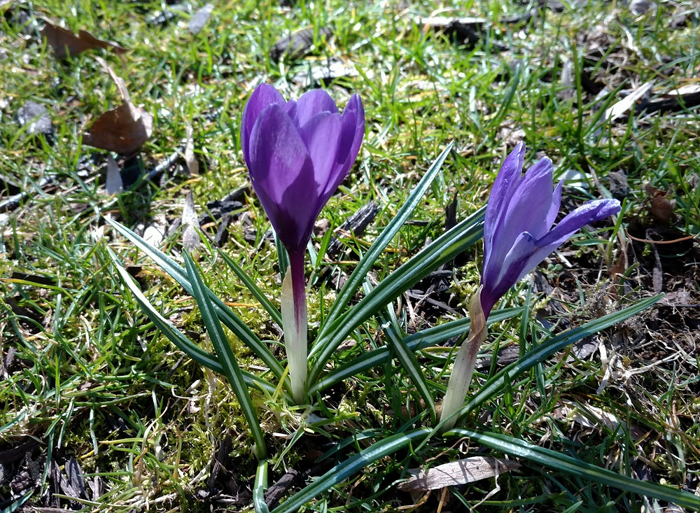 Crocus are among the first bulbs to emerge