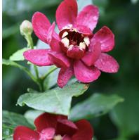 Fragrant Shrub Carolina Allspice