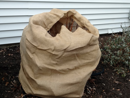 Protecting Hydrangea From Winter Damage