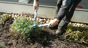 Cutting back Catmint
