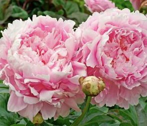 Fragrant perennial Peony. Photo courtesy of Prides Corner Farms