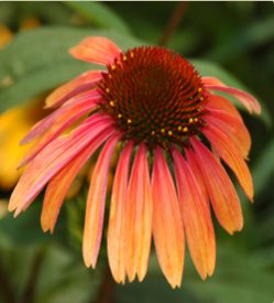 Echinacea 'Summer Sky'