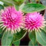 Gomphrena 'Pink Dazzle'
