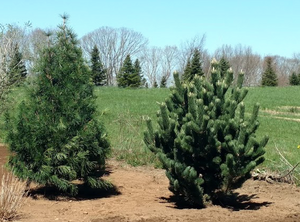 Two gorgeous conifers in Durham, CT
